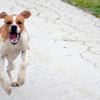 Picture of a pointer dog running on apshalt road — Stock Photo #67864995