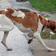Pointer dog running on apshalt road — Stock Photo #67865021