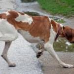 Pointer dog running on apshalt road — Stock Photo #67865021