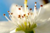 Beautifull subtle colors of a stamens, macro,  — Stock Photo