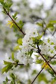 Erik çiçeği — Stok fotoğraf