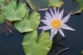 自然一紫色或粉红色莲花与绿叶 — 图库照片