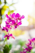 Beautiful pink color streaked orchid flower in Thailand in the morning time with blurred background — Stock Photo