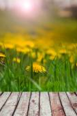 Yellow dandelion flowers with leaves in green grass, spring phot — Stock Photo