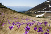 Blossom of crocuses at spring in the mountains — 图库照片