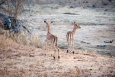 Two Impala in open ground — Stock Photo