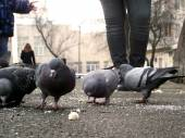 Pigeons pecking crumbs of bread — Stock Photo