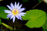 Blue lotus flower on the pond — Stock Photo