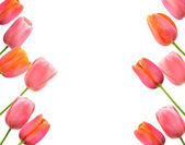 Pink tulips background and border floral design — Stock Photo