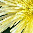 Yellow spider mum flower closeup macro — Stock Photo #64933339