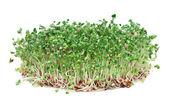 Молодые ростки брокколи, богатая фитохимикалией борющаяся с раком еда — Стоковое фото