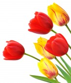 красные и желтые тюльпаны, изолированные на белом фоне — Стоковое фото