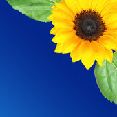 Sunflower background with space for text — Stock fotografie