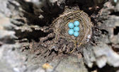 Bluebird nest and eggs inside a hollow fence post — Stock Photo