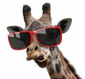 Funny vogue fashion portrait of a giraffe with modern hipster sunglasses — Stock Photo