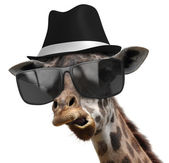 Funny animal portrait of a giraffe detective with shades and a fedora — Stock Photo