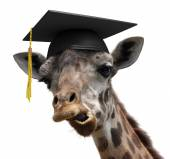 Unusual animal portrait of a goofy giraffe college graduate student — Stock Photo