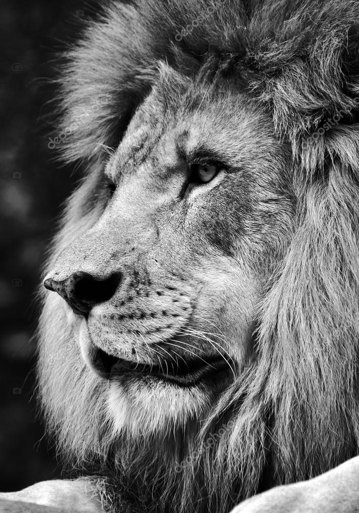Lion angry black and white