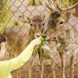 Child food deer in park,animal, boy, brown, care, child, childhood, communication, cute, deer, eat, environment, excited, farm, farmland, feed, feel, food, forest, fun, funny, green, hand, help, — Stock Photo #72443261