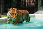 インドシナ タイガー — ストック写真
