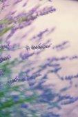 Lavender in wild, toned — Fotografia Stock