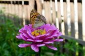 Borboleta em uma flor — Foto Stock