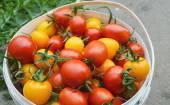Červená a žlutá rajčata — Stock fotografie