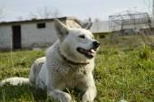 Dog laying on grass — Stock Photo