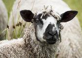 Wensleydale ewe — Stock Photo