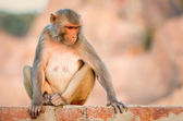 Macaque at the Monkey Temple, Jaipur. — Stock Photo
