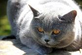 Cute british cat Alice — Stock Photo