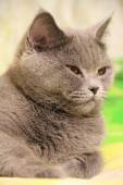 Cute british cat — Stock Photo
