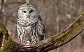 Utesluten owl — Stockfoto