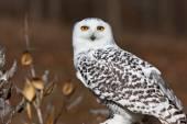 Snowy Owl Stare — Fotografia Stock