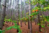 Stoją w lesie sosnowym na Pierce magazynowanie przejażdżka w Sleepi — Zdjęcie stockowe