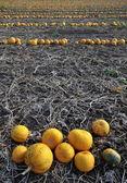 Pumpkin lines 3 — Stock Photo