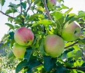 Apple garden full of riped red apples — Stock Photo