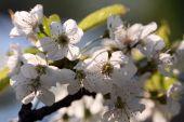 The spring in the garden - flourishing fruit trees — Stock Photo