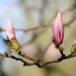 Blossoming of magnolia flowers in spring time — Stock Photo #71086859