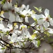 Blossoming of magnolia flowers in spring time — Stock Photo #71088705