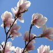 Blossoming of magnolia flowers in spring time — Stock Photo #71089257