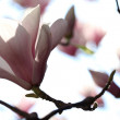 Blossoming of magnolia flowers in spring time — Stock Photo #71089509