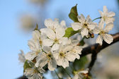 The spring in the garden - flourishing fruit trees — Stock Photo