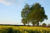 View of flowering field of rapeseed.Plant for green energy and oil industry — Stockfoto