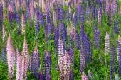 Lupinus — Stock Photo