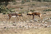 Blackbuck Standoff 4 — Stock Photo
