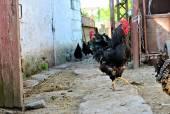 The cock — Stock Photo