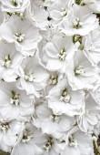 White delphinium flowers — Stock Photo