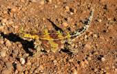 Thorny devil, Australia — Stock Photo