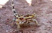 Thorny devil, Australia — Stockfoto